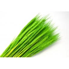 Spezia verde